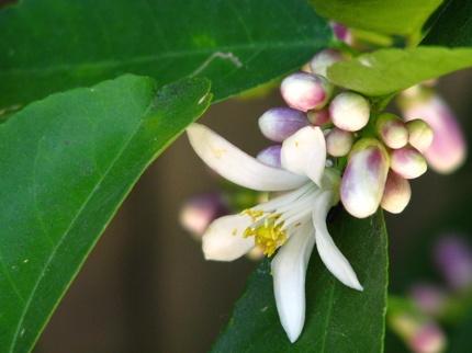 Profumo: fiori bianchi tiglio #bouquet #white #lime #blossom #limeblossom  #flowers