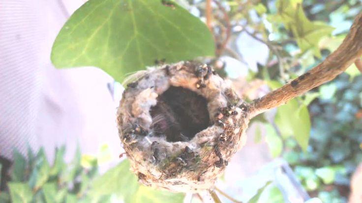 Ivy Hummingbird Cam - Bird Cams - explore