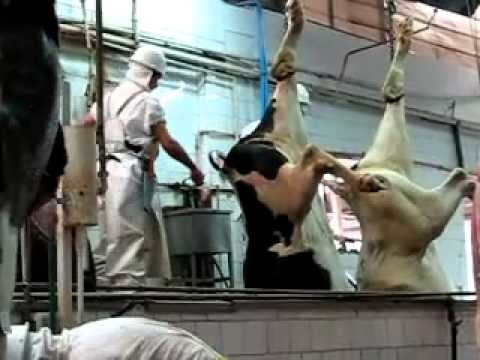 """animal rights and slaughter houses """"the assumption that animals are without rights and the illusion that our treatment of them has no moral significance is a positively outrageous example of western crudity and barbarity."""