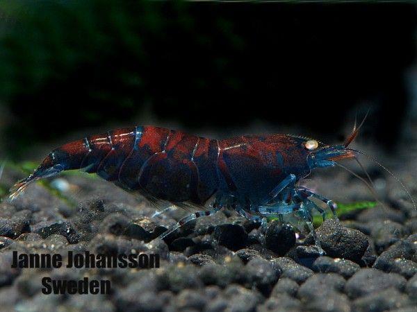 Blue Tiger Shrimp Aquarium Orange eyed blue tiger aquariums ...