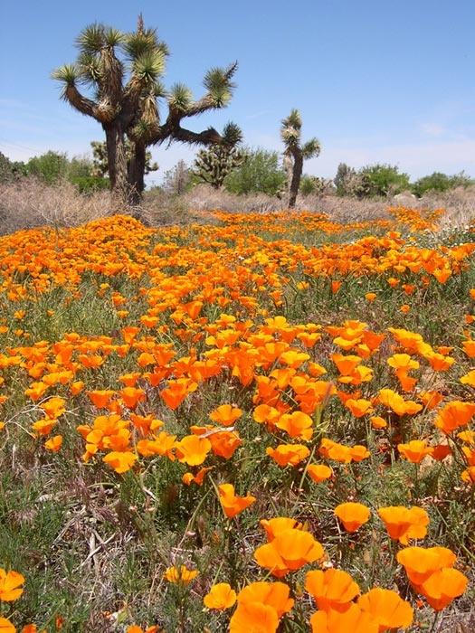 California poppies (Joshua trees in background.) They were everywhere...when I was a kid.