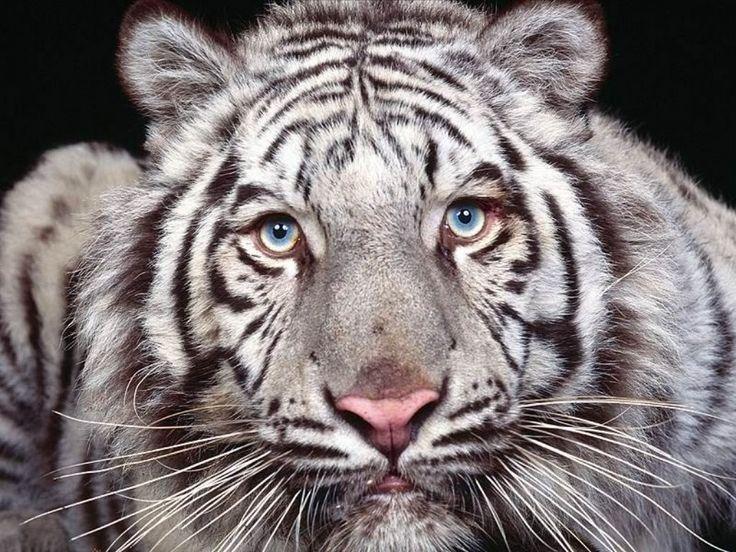 zlatá mramorovaná fotografie mládě Bengálský tygr: Bílý tygr bengálský Captivating_Eyes.jpg