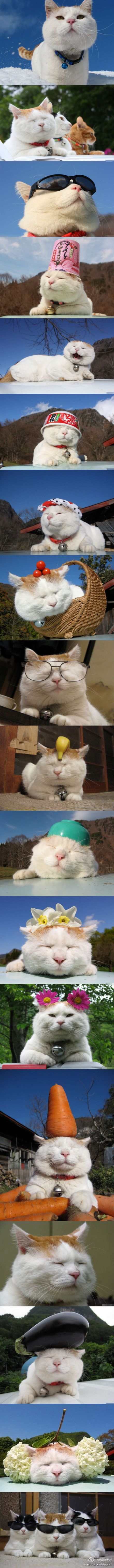Have you met the Japanese cat Shironeko? The incredibly calm Japanese cat who…
