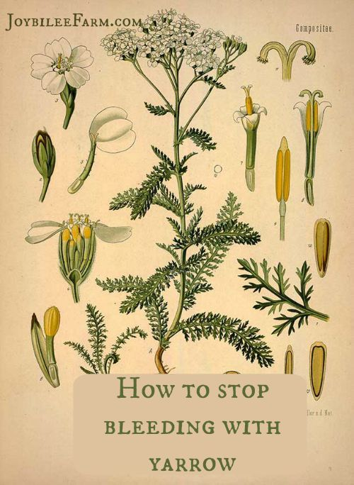 How to stop bleeding with yarrow -- Joybilee Farm --also on this website a tincture for high blood pressure