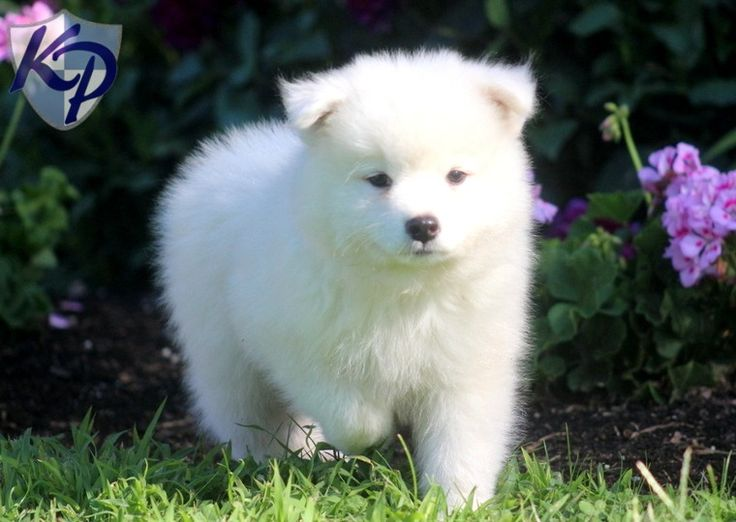 Samoyed Dog Puppies for Sale