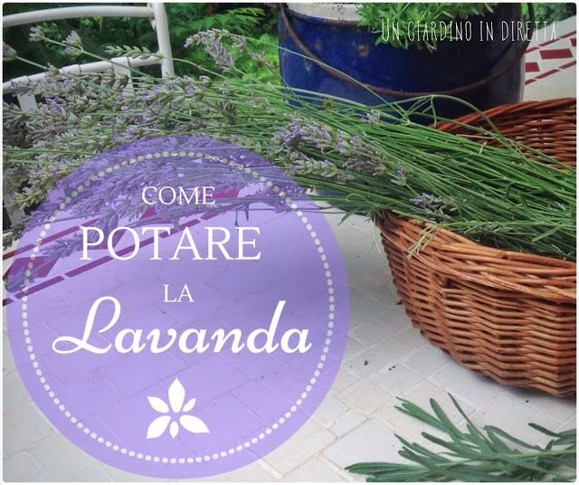 un giardino in diretta - blog di giardini, giardinaggio, natura e di artigianato: come potare la lavanda (lavandula angustifolia)