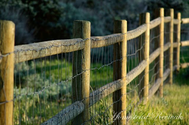 Homestead Revival: Goat Fencing. This fencing also keeps cyotes/wolves out. Run a few strands of barbed wire and it is good for cattle.