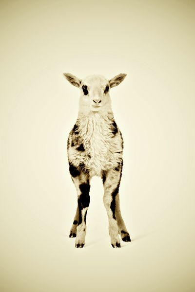 Little Lamb from The Animal Series. Prints are available at: http://www.wonderwallstudio.com/art-collection/artist/pernille-westh/