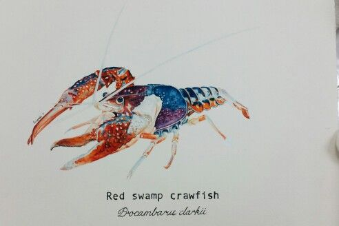 Crayfish zoological illustration