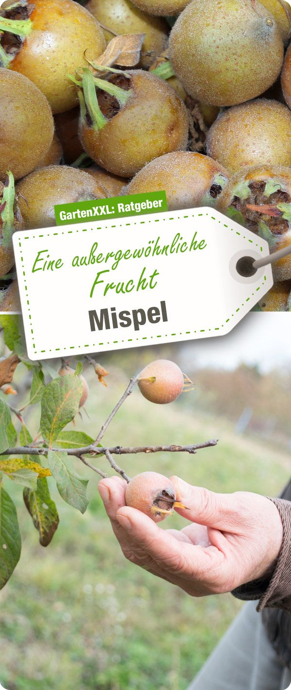 Die Mispel, eine außergewöhnliche Frucht – Mariella Stall