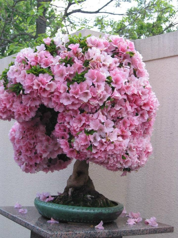 pink blossom bonsai tree