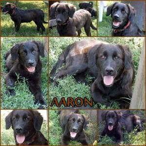 Örökbefogadható kutya - Aaron - Hajdúszoboszló