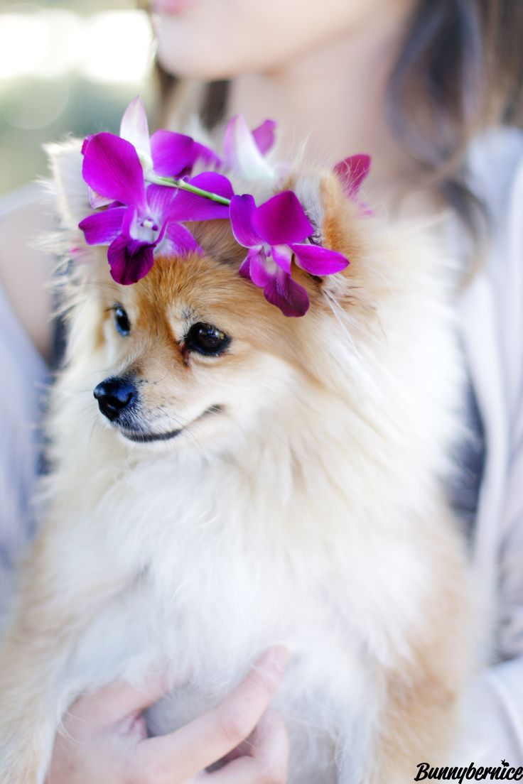 Took my Pomeranian flower child to the dog park