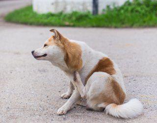 come eliminare le pulci del cane