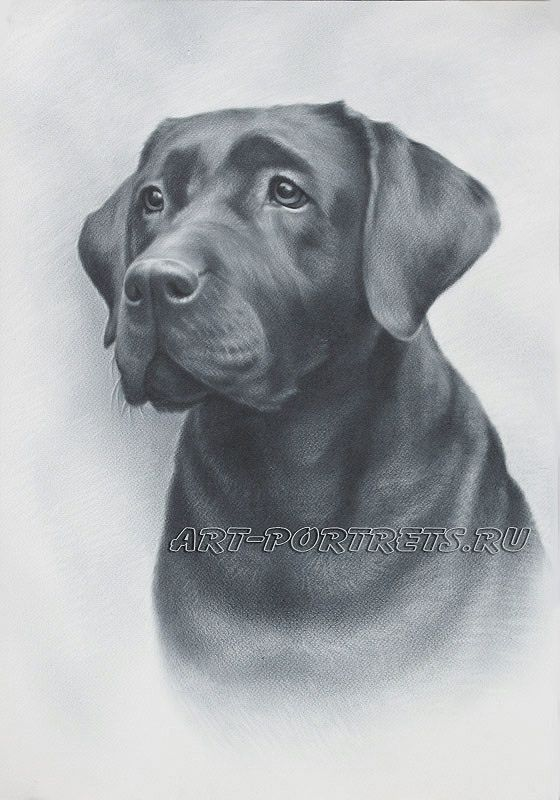 Drawing of dog face. Realistic drawing of dog. Pet portrait dog