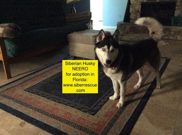 #Siberian #Huskies for #adoption in #Florida only:  www.siberrescue.com