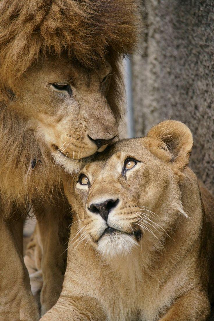 Монастырь, картинки лев и львица с надписями про любовь