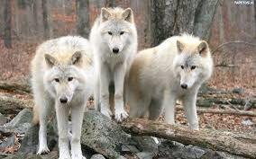 Trzy duże wilki białe