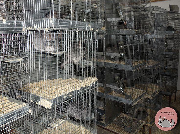 http://www.chinchillabusiness.com Ferma chinchilla Crestere chinchilla  Afacere chinchilla