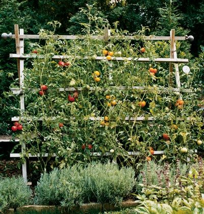 3 Step Garden Trellis - Simple, natural, and ready to plant, your new cedar trellis will age soon to a nice silvery gray. We planted six varieties of tomatoes on each trellis, training them up as they grew. In fall, either cut strings and take down posts or leave over winter for a decorative accent