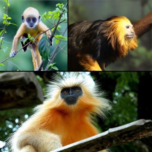 Golden Headed Langur Cercopithecidae trachypithecus one of the top 10 endangered species less than 200 left & at risk due to small population size