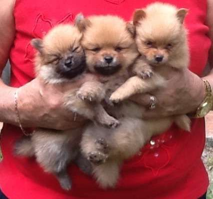 Gorgeous pure bred Pomeranian puppies. The 2 males and 2 females were born on January 28, and they will be vaccinated, vet checked, weaned, wormed, microchipped and ready to go to a new family by March 18. Each puppy also comes with a comprehensive puppy pack - http://www.pups4sale.com.au/dog-breed/472/Pomeranian.html
