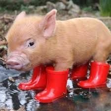 Image result for cute pigs
