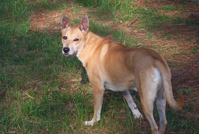 American Dingo America S Only Native Wild Dog Dog Breeds Dingo
