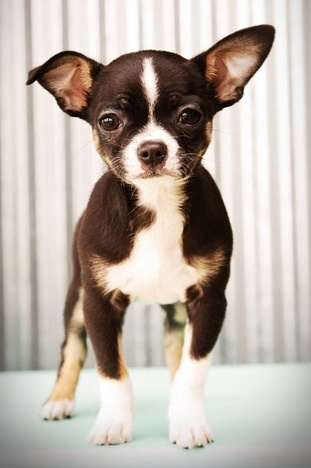 boston terrier/chihuahua mix ♥