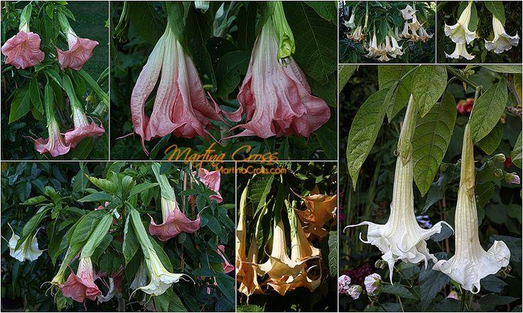 NIce brugmanisa show in our garden