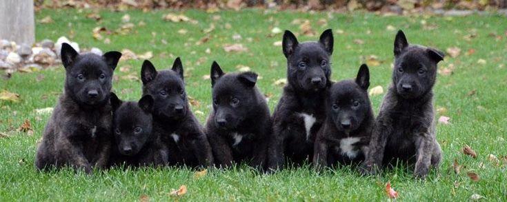 Dutch shepherd puppies hunde