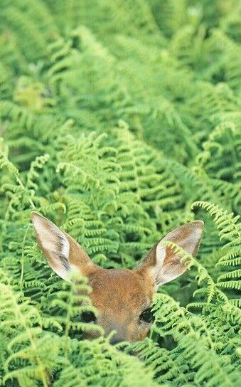 Spring Fawn in the Thicket