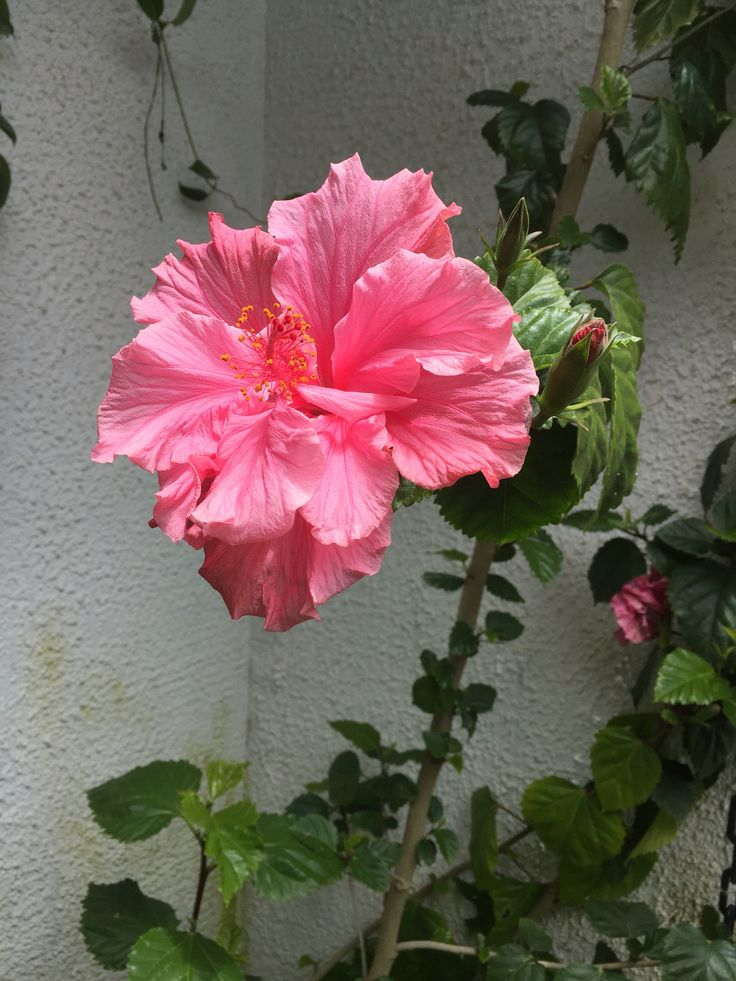 Mi bello hibiscos