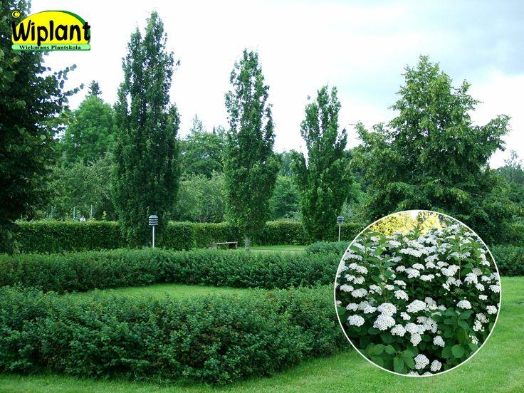Spirea bet. 'Renko', Björkspirea Tät variant som kommer igång med  tillväxten snabbt efter den vita rikliga  blomningen. 0,8 - 1 m hög, klippt eller friväxande.