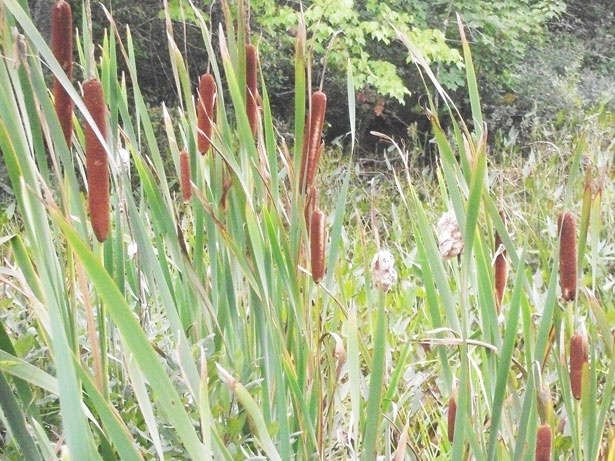 Cattails – SIX Videos – Cattails Wild Food Foraging Class. How to harvest, prepare, and cook them, how to make cattail flour.