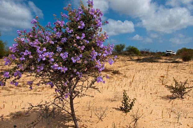 190 best ideas about australian native plants on pinterest