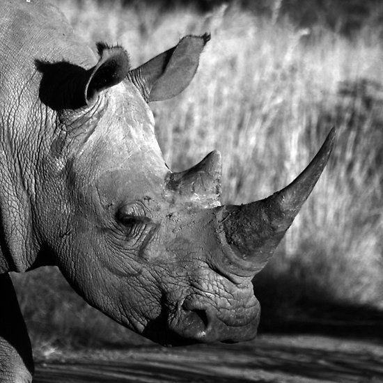 Rhino, Pilanesberg National Park, South Africa.  #rhino #pilanesberg #blackandwhite #southafrica
