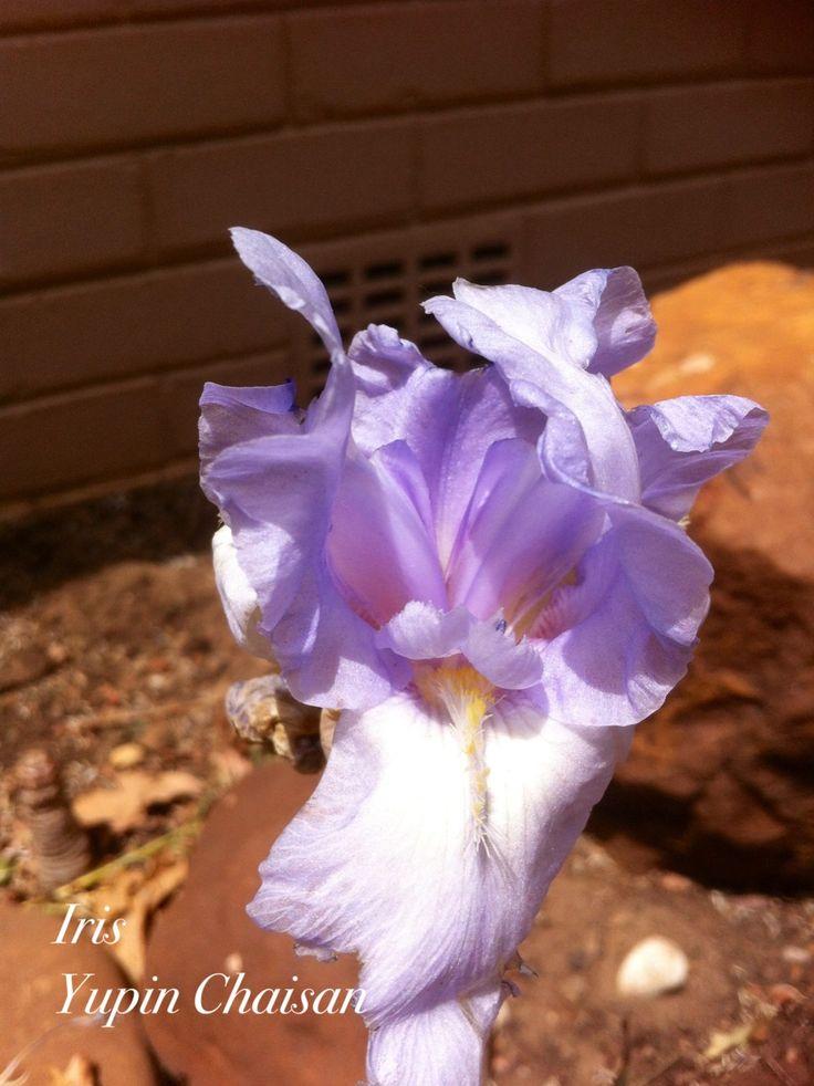 Iris in my garden