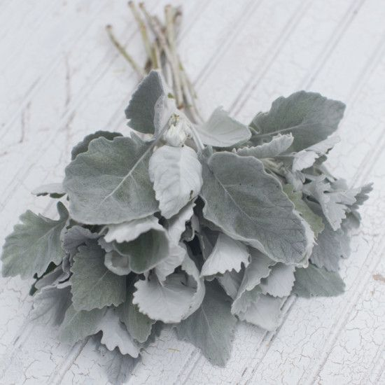 Dusty Miller 'New Look' Cineraria maritima One of the most productive and unique foliage plants around, this special Dusty Miller features tall, thick stems with large, smooth-edged silver leaves. The more you pick it, the more stems it produces. Ready to cut in just four months from sowing, this hardworking plant will reward you with buckets and buckets of fuzzy silvery foliage all season long. Seed available from Floret.