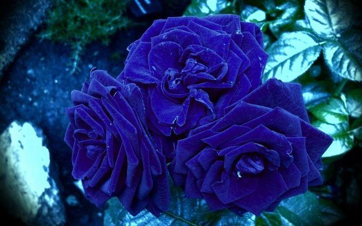 Розы 369709 /…, синие, Обои букет..