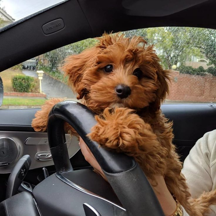 Cavapoo puppies information characteristics facts