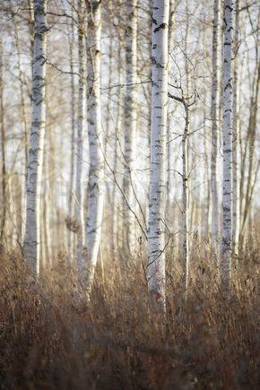 Birch Forest in Dalarna, Sweden - Fototapeten & Tapeten - Photowall