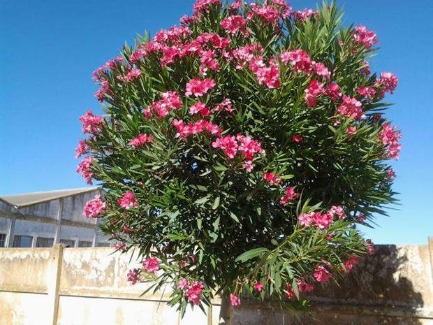 La adelfa es un árbol pequeño, de hoja perenne, que se utiliza en muchas construcciones públicas dado que no necesita muchos cuidado y resiste bien el cambio de condiciones climáticas en el exterio…