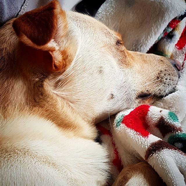 Kosegutten min  #buhund #whippet #ilovemydog #hund