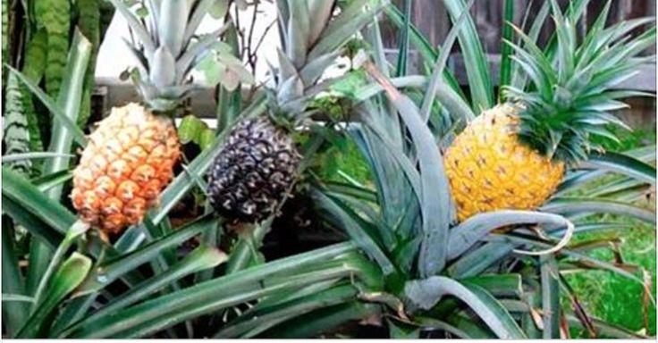 Se você fizer isto no quintal de sua casa, em pouco tempo terá dezenas de abacaxi crescendo! | Cura pela Natureza