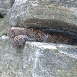 A Milk Snake hides in our stone wall