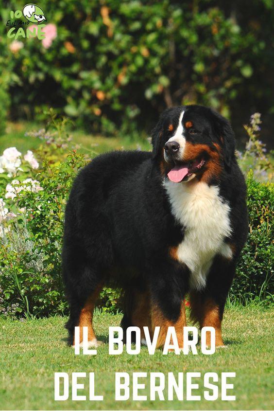 low priced e6309 815f7 Il Bovaro del Bernese - Stai pensando di prenderne uno ...