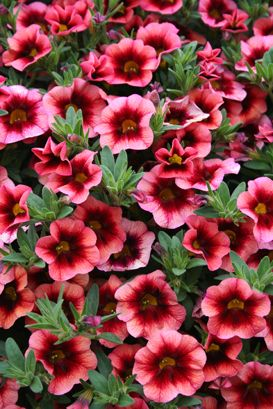 107 best images about outdoor flora on pinterest - Calibrachoa perenne ...