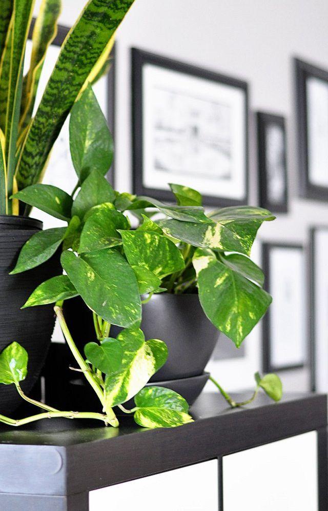 best 25 pothos plant ideas on pinterest golden pothos. Black Bedroom Furniture Sets. Home Design Ideas