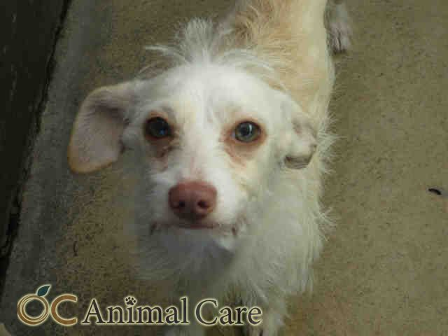 Dove Id A1546454 9 Mo Old Male Carin Terrier Mix Available At